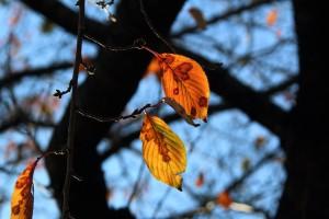 sakura-leaves-img_3960